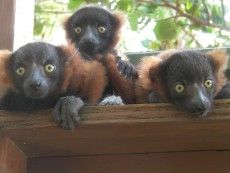 lemursmadagascar